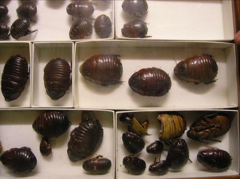 Australian Burrowing Cockroaches