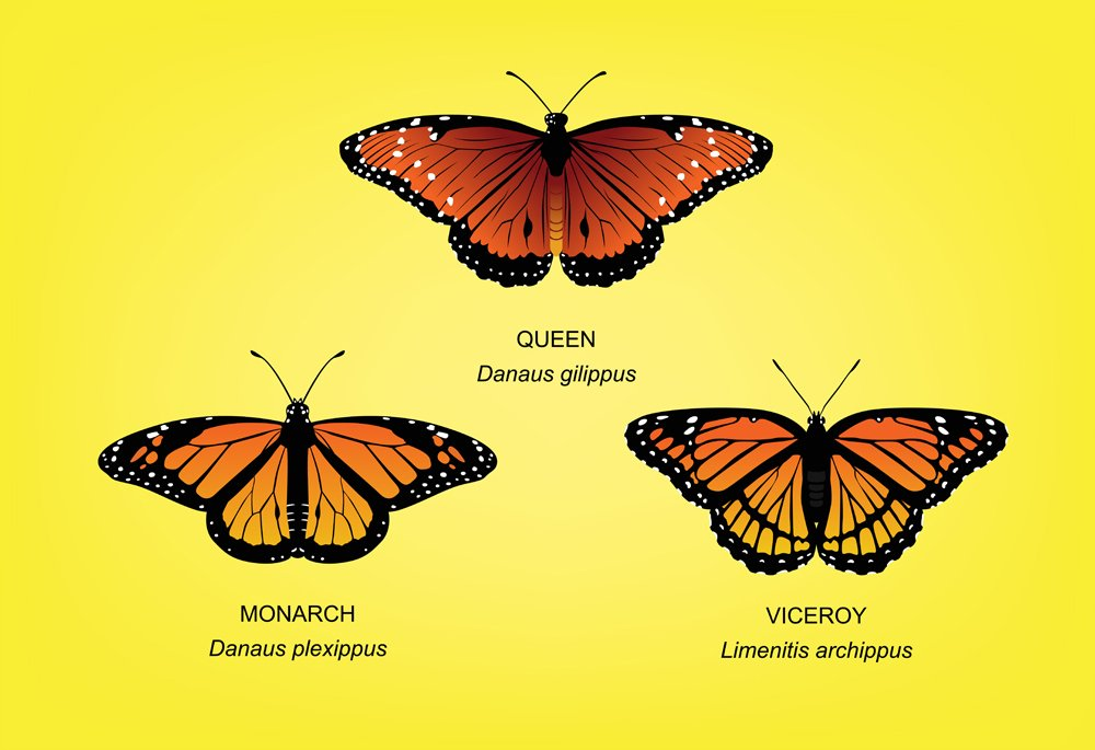 Butterfly Monarch Set Vector Illustration(Maquiladora)s