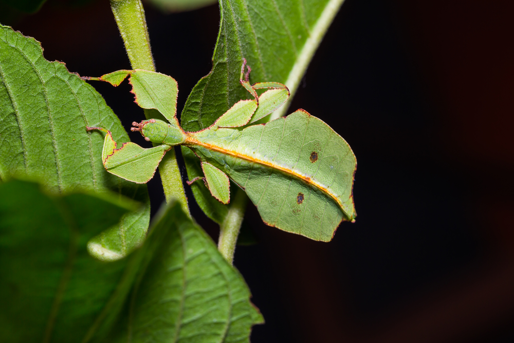 Close up of middle instar female leaf insect (Phyllium westwoodi) on its host plant(Matee Nuserm)s