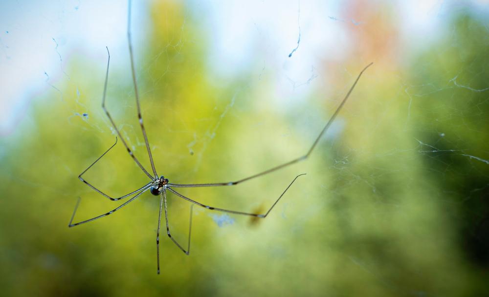 Macro photo of daddy long legs spider(AlexCsabo)s