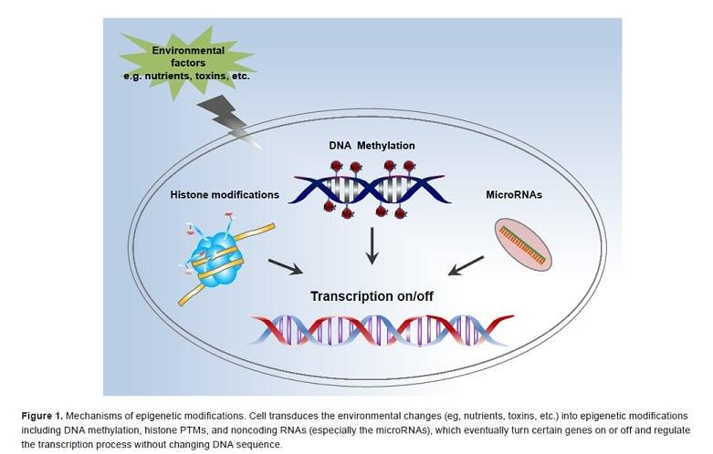 Mechanism of epigenetic modifications.
