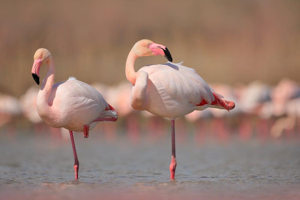 Pink big birds Greater Flamingos(Ondrej Prosicky)s