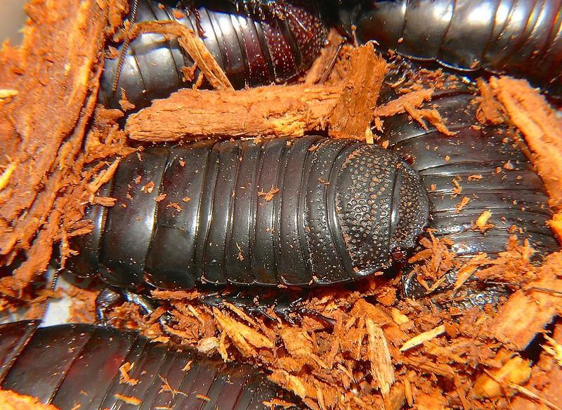 Wood eating cockroach Panesthia tryoni
