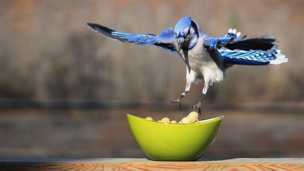 Blue Jay in quest of food