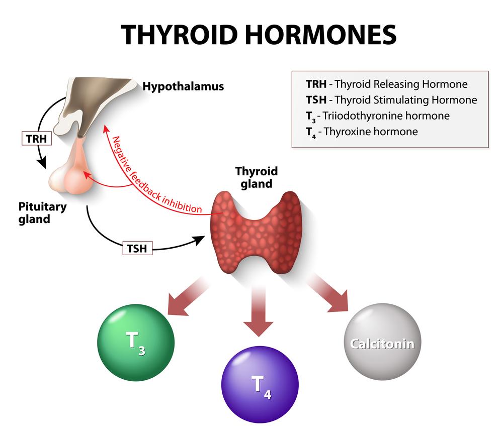 thyroid hormones. Human endocrine system(Designua)s