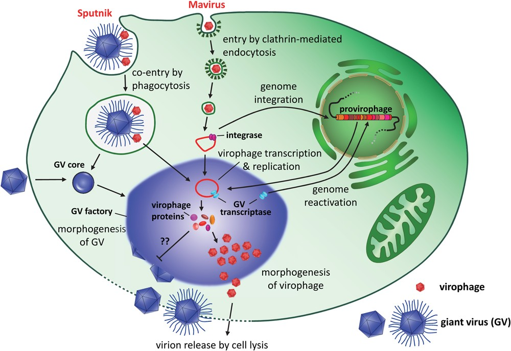 A diagram showing how virophages might infect mimiviruses