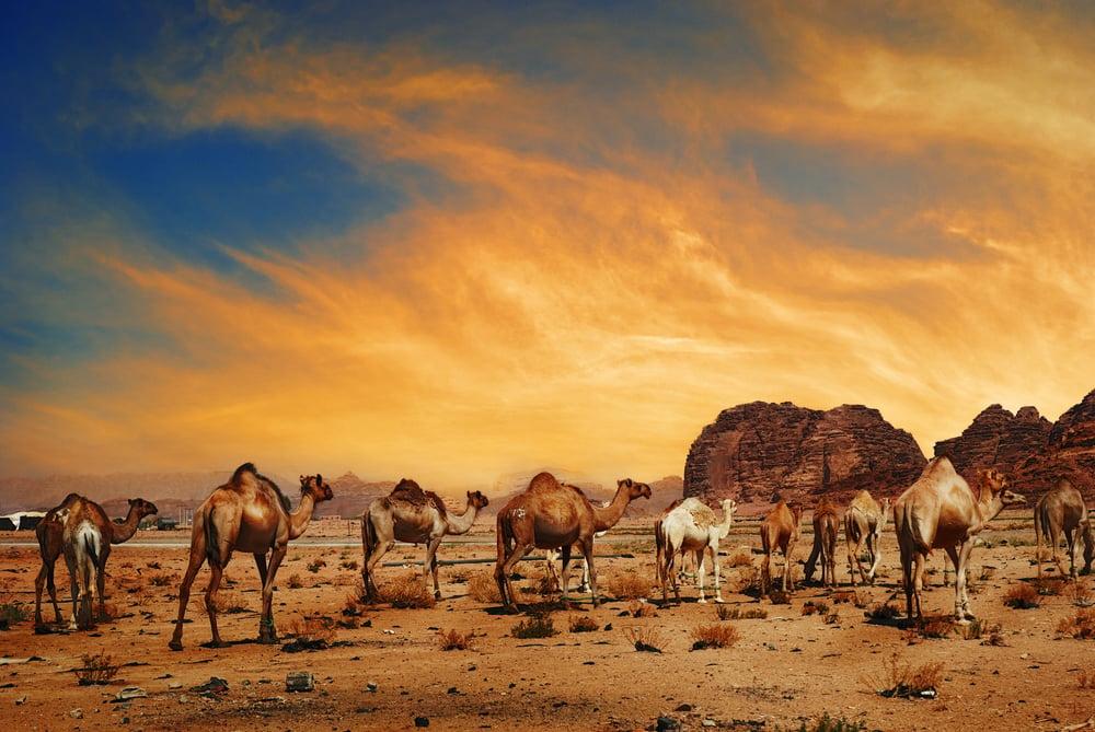 Arabian camels in desert of Wadi Rum(Hitdelight)s