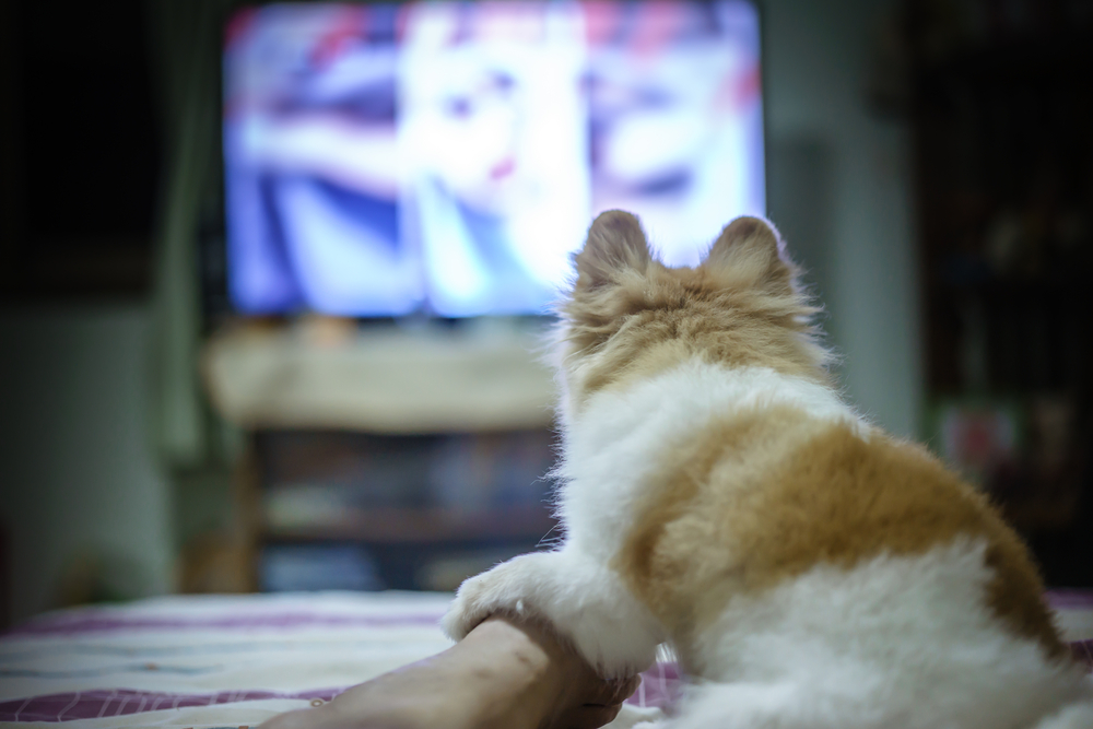 Pomeranian dog watching Horror TV series so fear and touch the someone on the leg(sommart sombutwanitkul)s