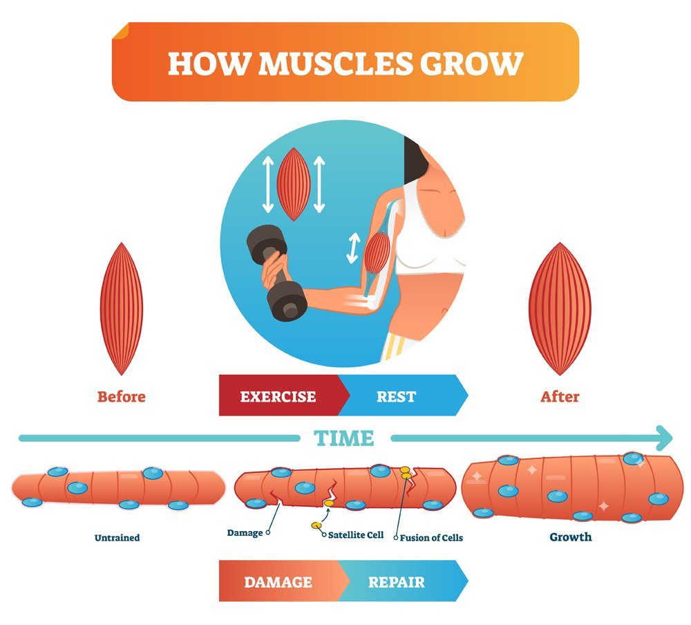 Vector illustration about how muscles grow(VectorMine)s