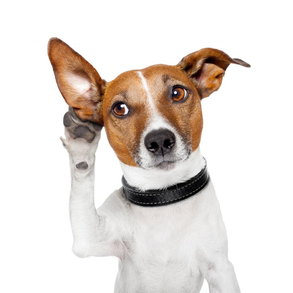 dog listening with big ear(Javier Brosch)s