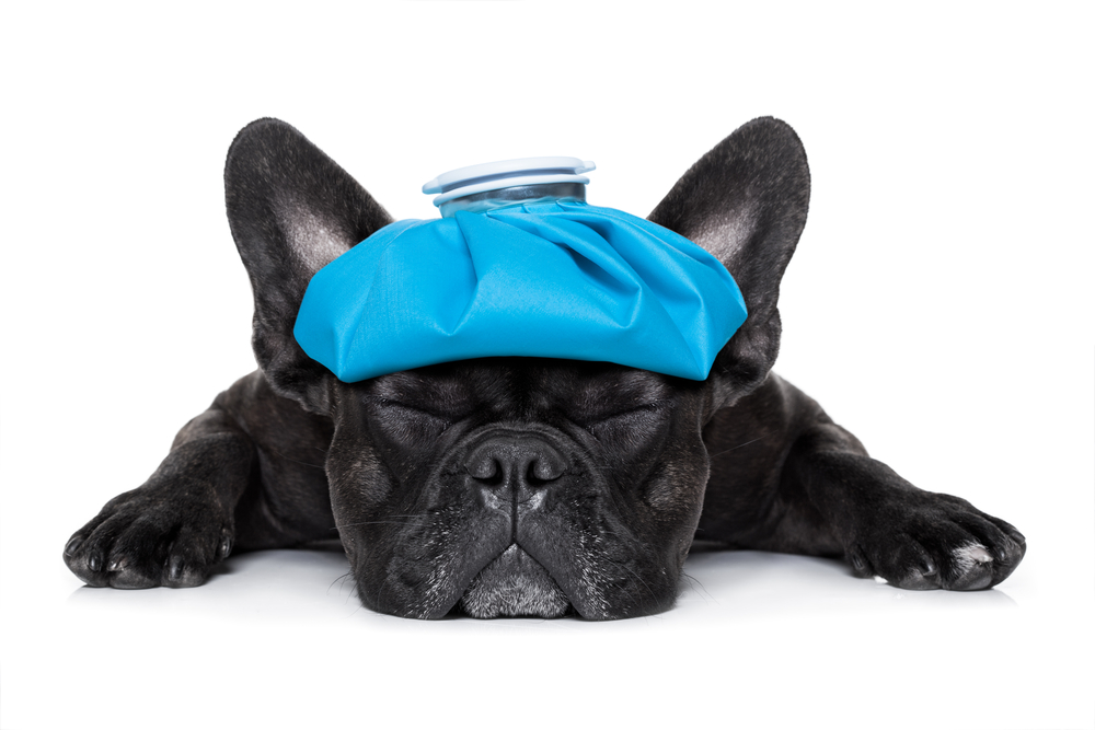 french bulldog dog very sick with ice pack or bag on head(Javier Brosch)s