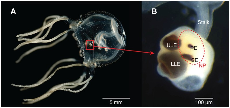 Cubozoan visual system in Tripedalia cystophora