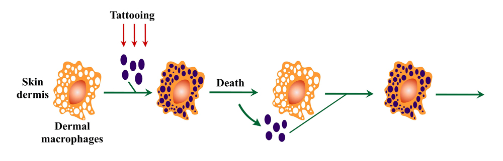 Macrophages on tattoos