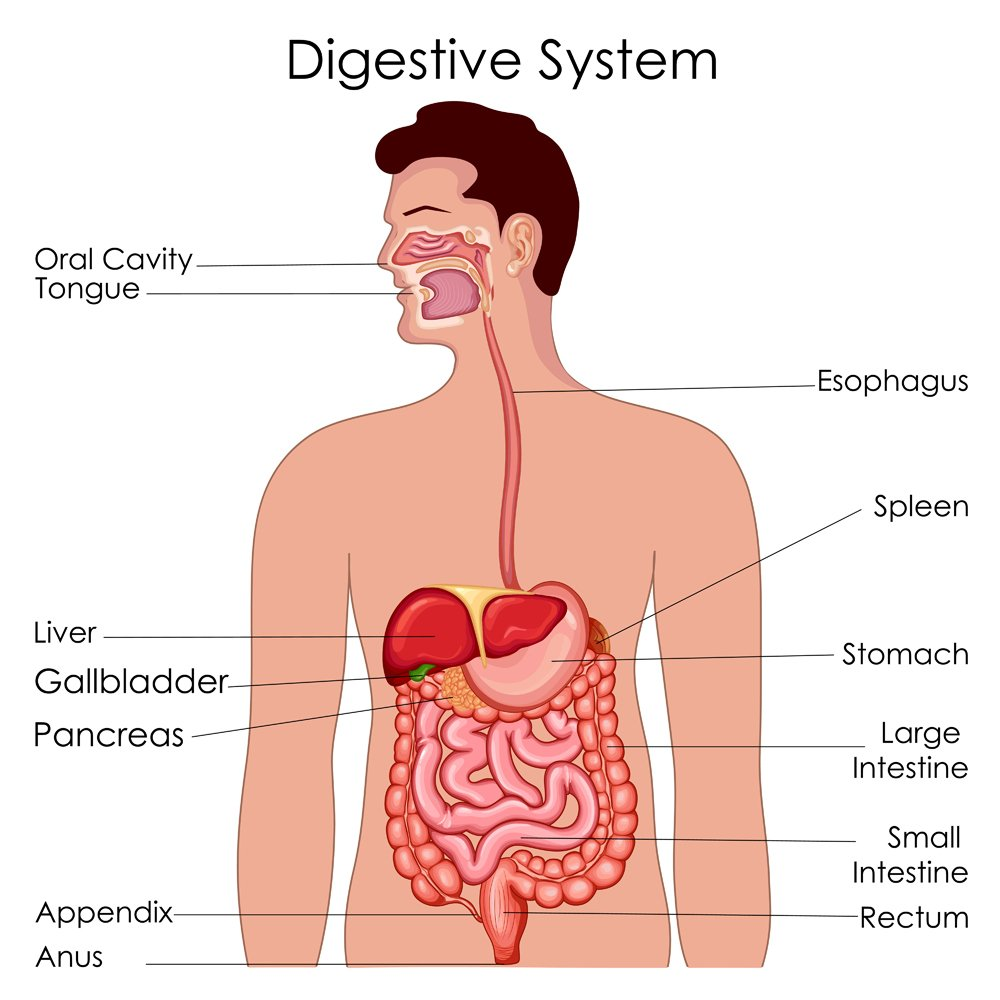 Medical Education Chart of Biology for Digestive System Diagram(Vecton)s