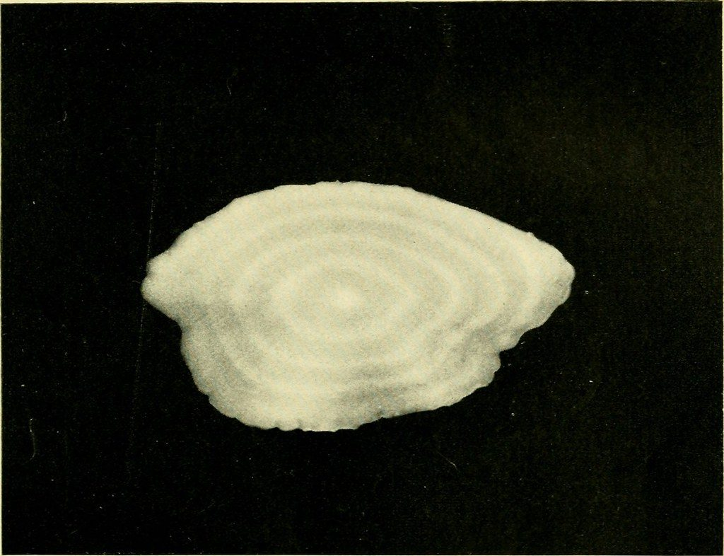 Otolith of a dead fish