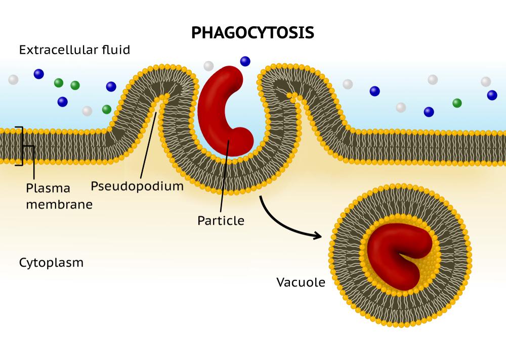 Phagocytosis. Cell eating(J. Marini)s