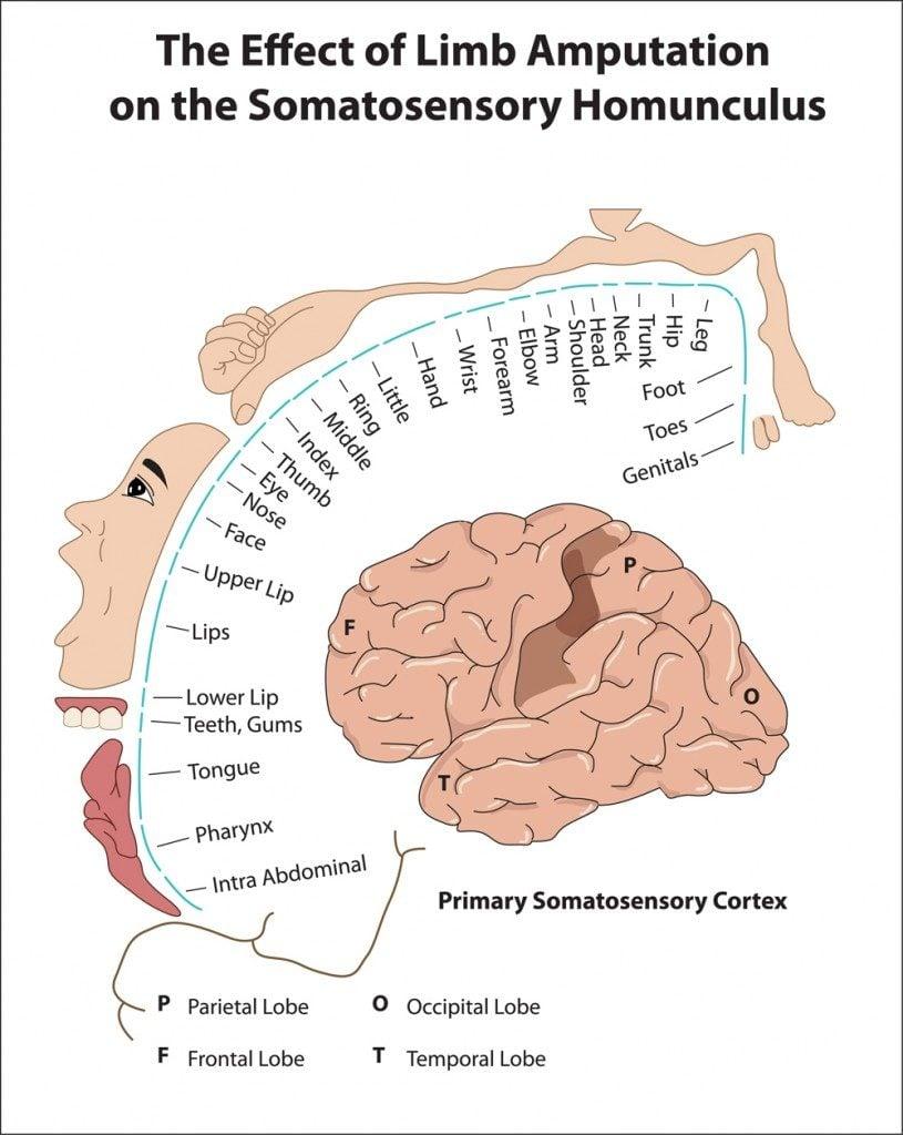Primary Somatosensory Cortex(Vasilisa Tsoy)s