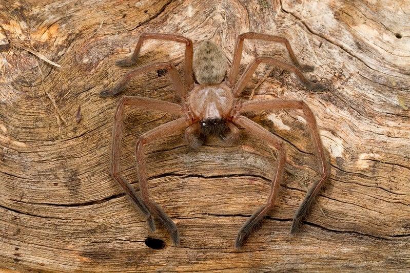 Sparassidae, Delena cancerides, Social Huntsman Spider