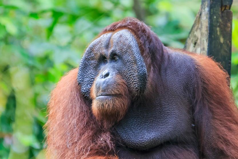 orangutans or pongo pygmaeus is the only asian great found on the island of Borneo and Sumatra(Yusnizam Yusof)s