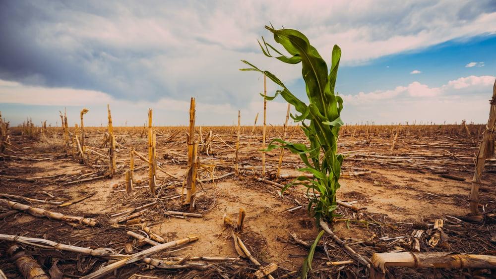 Extreme drought in a cornfield under a hot sun(Scott Book)s