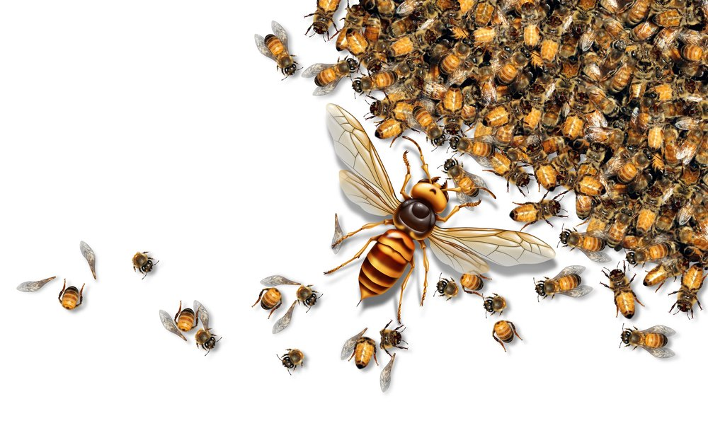 Giant Hornet Predator Attacking Bees as a Murder hornet or Asian giant insect that kills honeybees(Lightspring)S