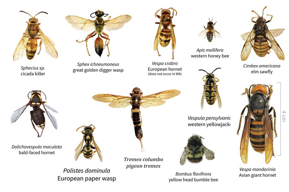 Size and appearance of Asian Giant hornet in comparison to other hornet species1