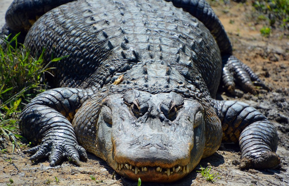 An alligator is a crocodilian in the genus Alligator of the family Alligatoridae(meunierd)s