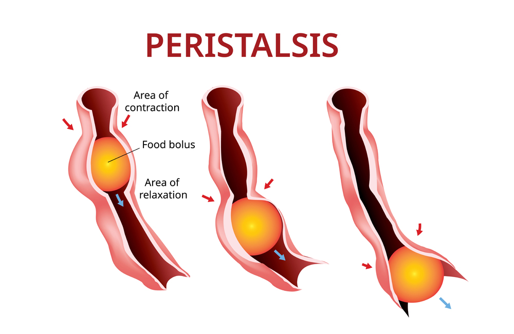 Digestion and Peristalsis. Esophagus and stomach to intestine(Akarat Phasura)s