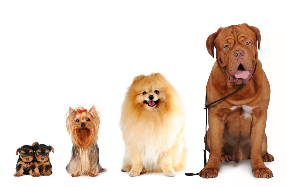 Group of dogs different sizes sit and looking into camera isolated on white. Yorkshire terrier, spitz, bordoss dog(Nataliya Kuznetsova)s