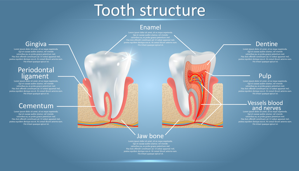 Human tooth structure vector diagram(Siberian Art)s