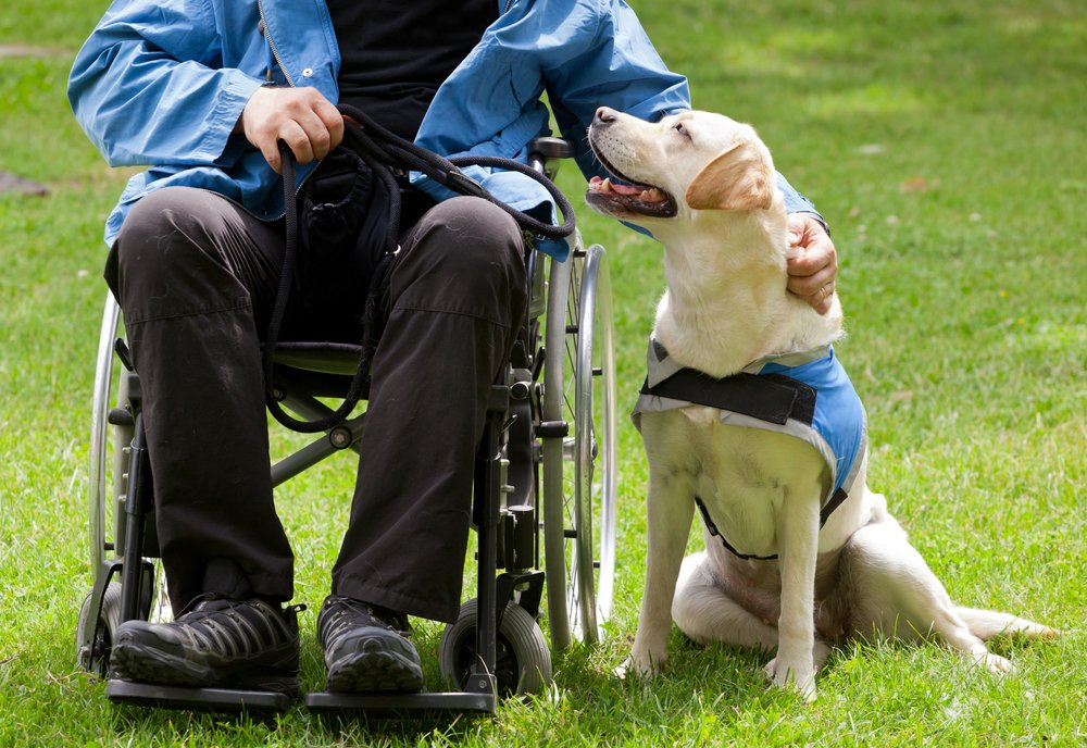 Labrador guide dog and his disabled owner on green grass(Antonio Gravante)s