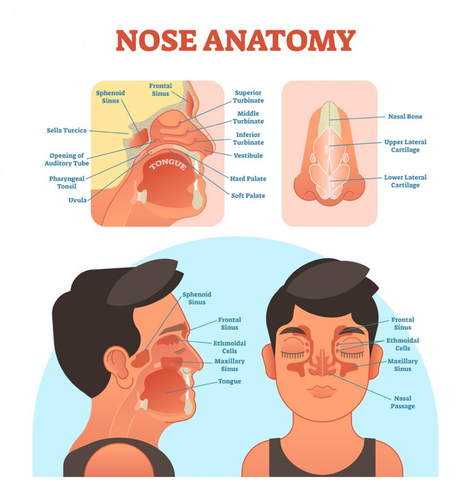 Nose anatomy medical vector illustration diagram with nasal cavity(VectorMine)S