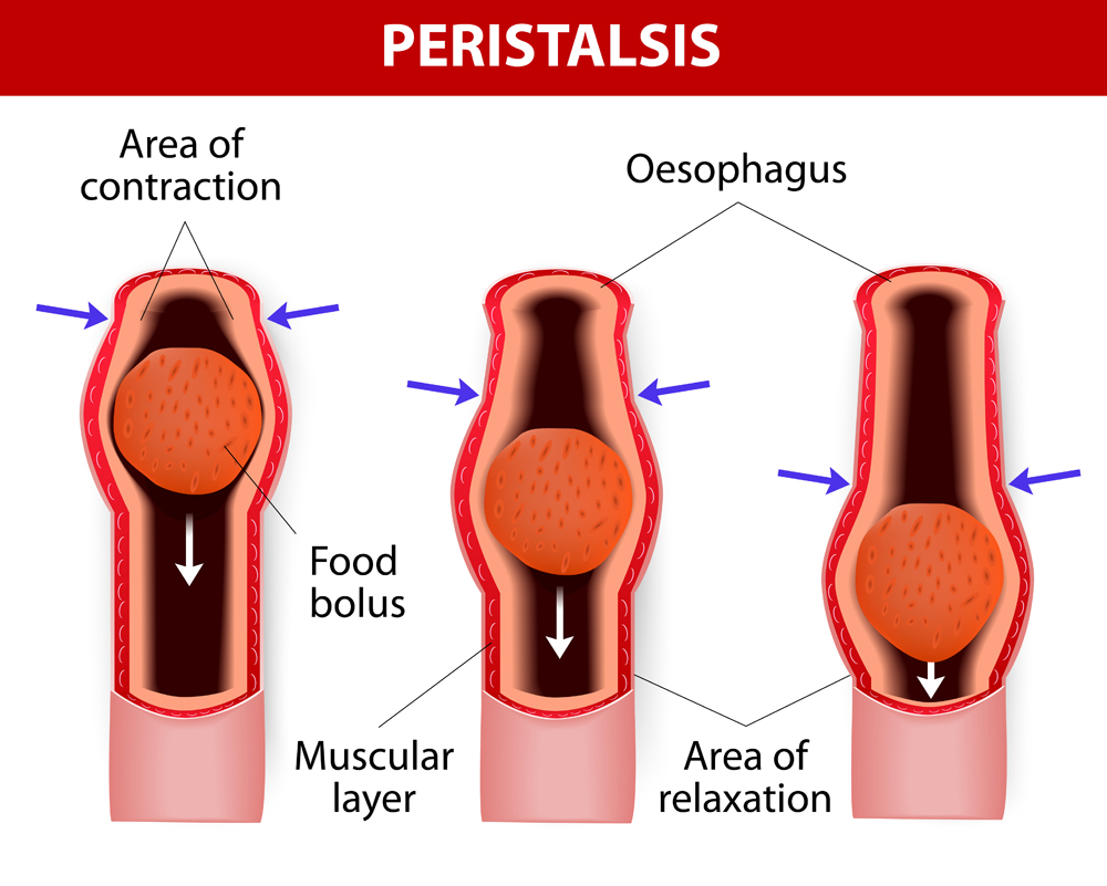 Peristalsis, or wave-like contractions of the muscles in the outer walls of the digestive tract, carries the bolus by the esophagus(Designua)S
