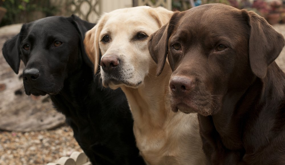 lovely labradors(claire norman)s