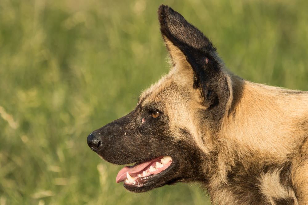 A close up of a Wild Dog's face photographed from the side. Dog is panting & alert(Anna-Carina Nagel)s