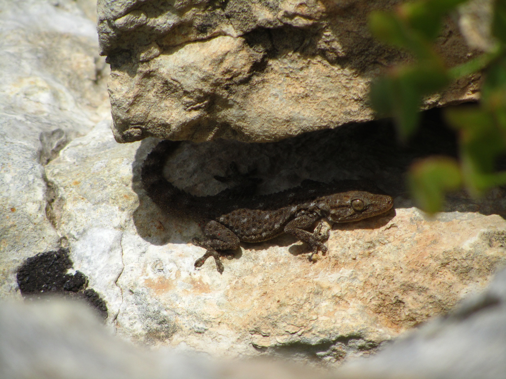 A closeup shot of a moorish gecko clinging under a shade on a rock(Wirestock Images)S
