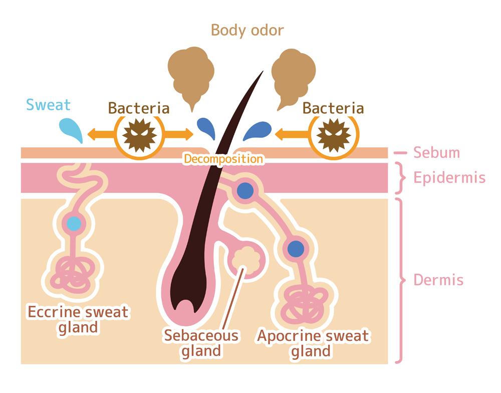 Cause of body odor illustration(Barks)S