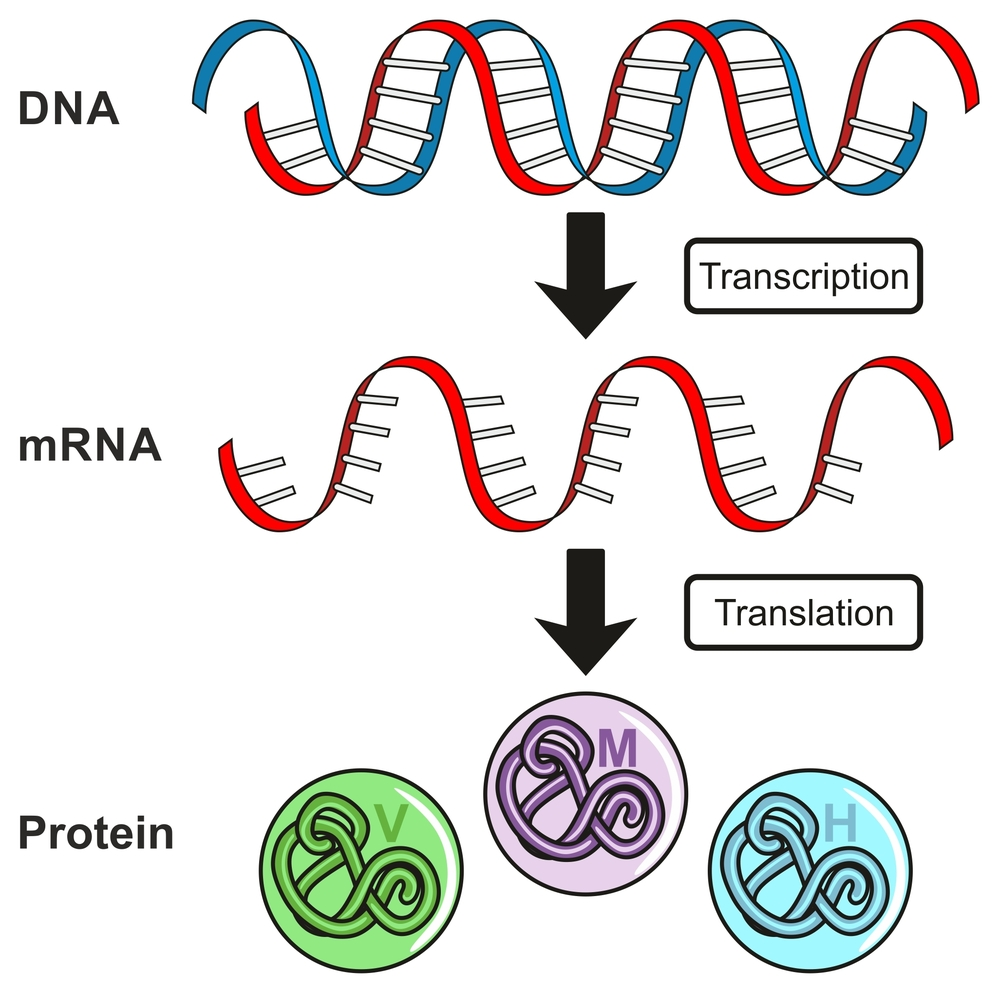 Central Dogma of Gene Expression infographic diagram showing the process of transcription(udaix)s