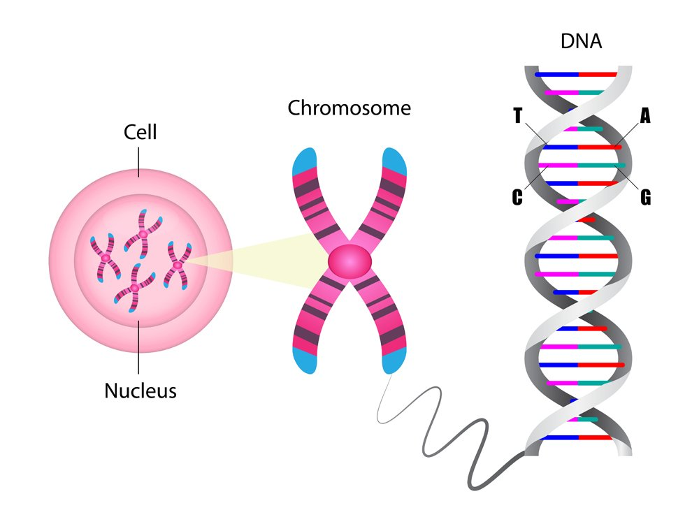 Diagram of chromosome and DNA structure, Molecular biology, vector illustration(Ody_Stocker)s