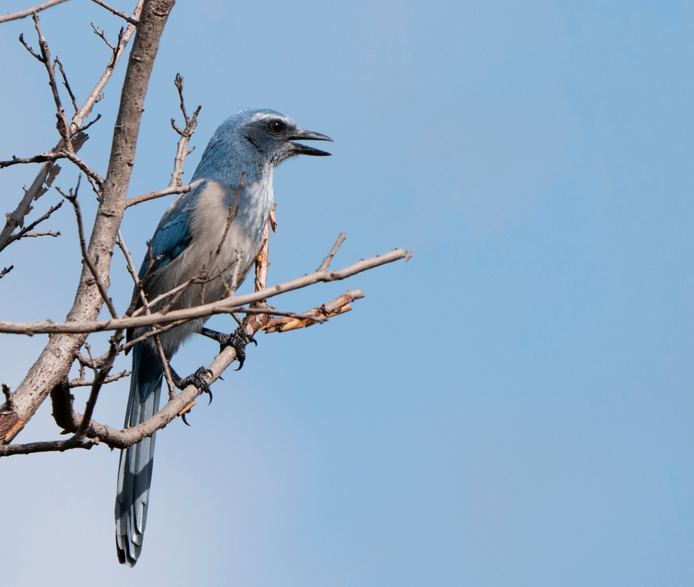 Florida scrub jay (Aphelocoma coerulescens) singing in a tree(Agami Photo Agency)s