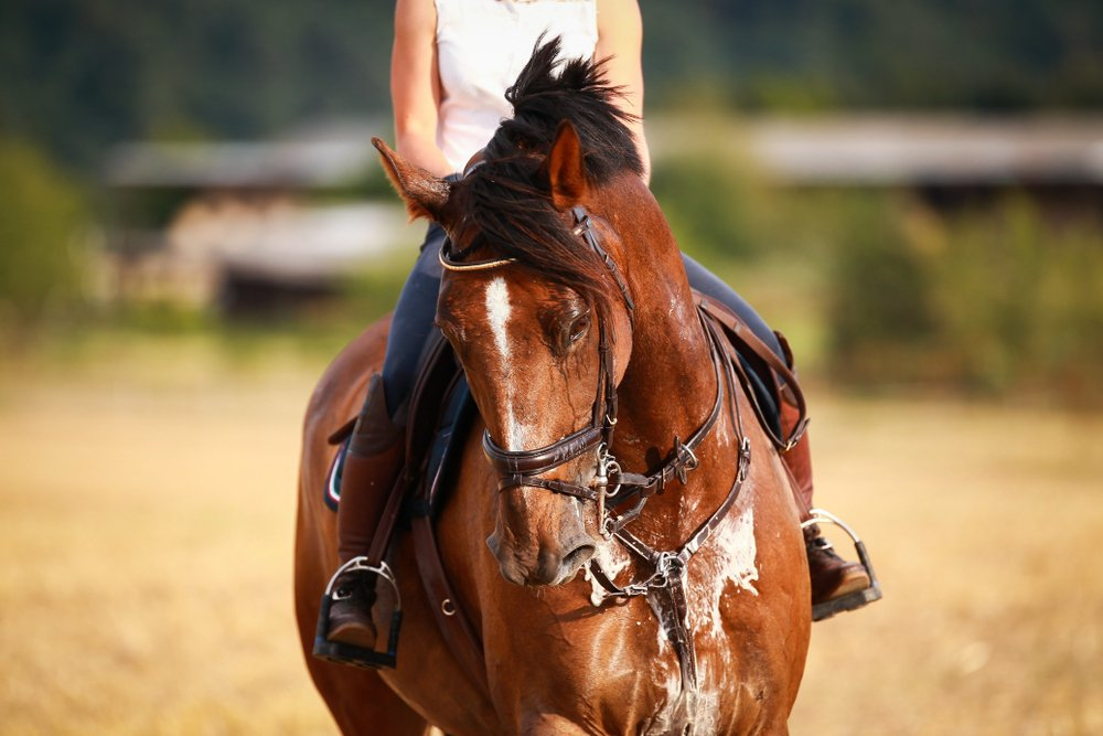Horse with rider in close-up. Head portraits from the front, foamy, sweaty with front harness(Rolf Dannenberg)s