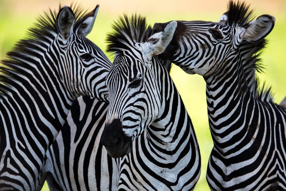 Wild Zebra socialising in Africa(Jamen Percy)s