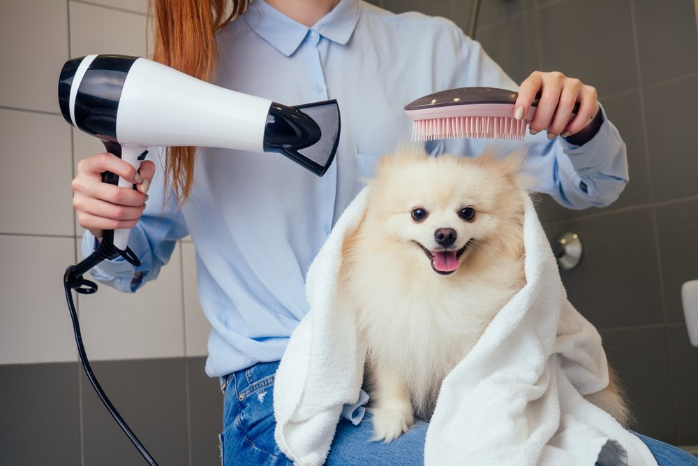 happy redhaired ginger woman blowing dry the spitz dog hair wiping with a bath towel in the grooming salon(yurakrasil)s