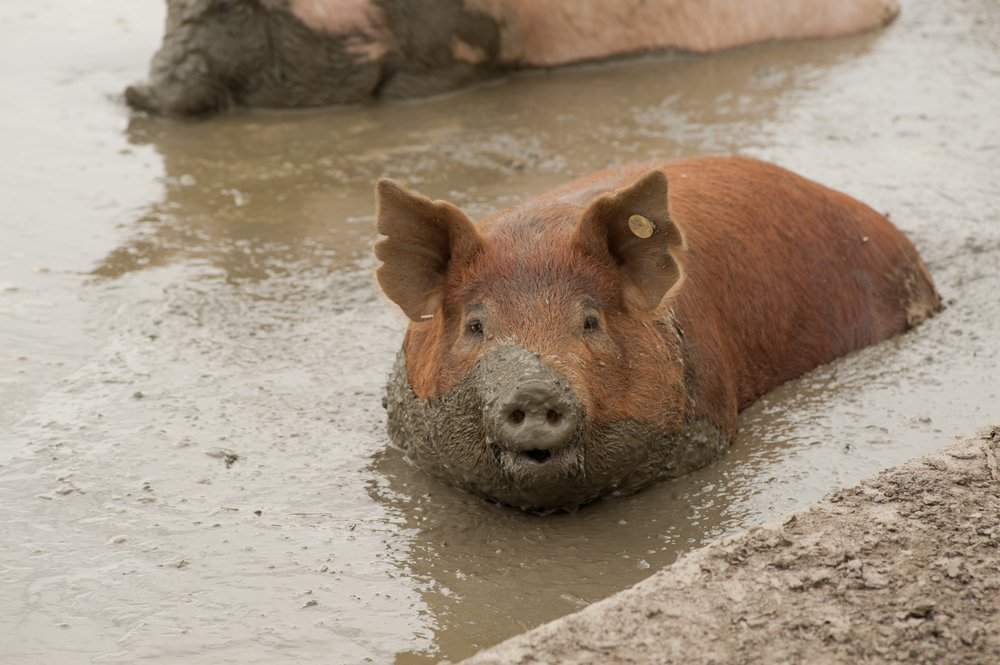 single pig playing in the mud with thick nasty mud all over it's face at an agricultural farm(jadimages)s