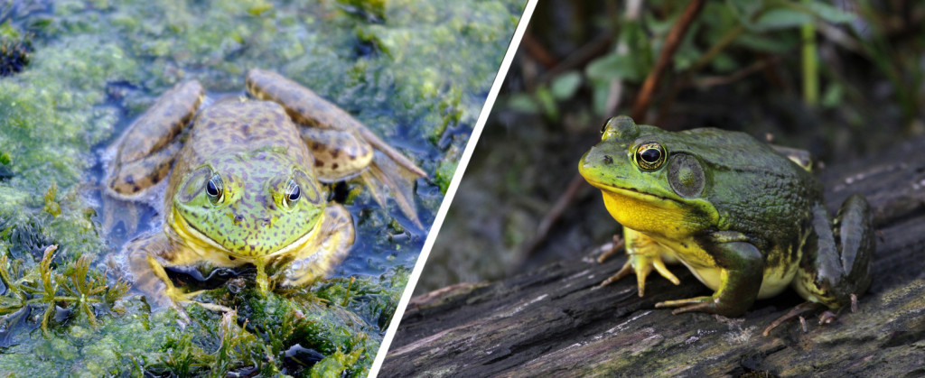Can you imagine how hard it must be for frogs to isolate themselves in water