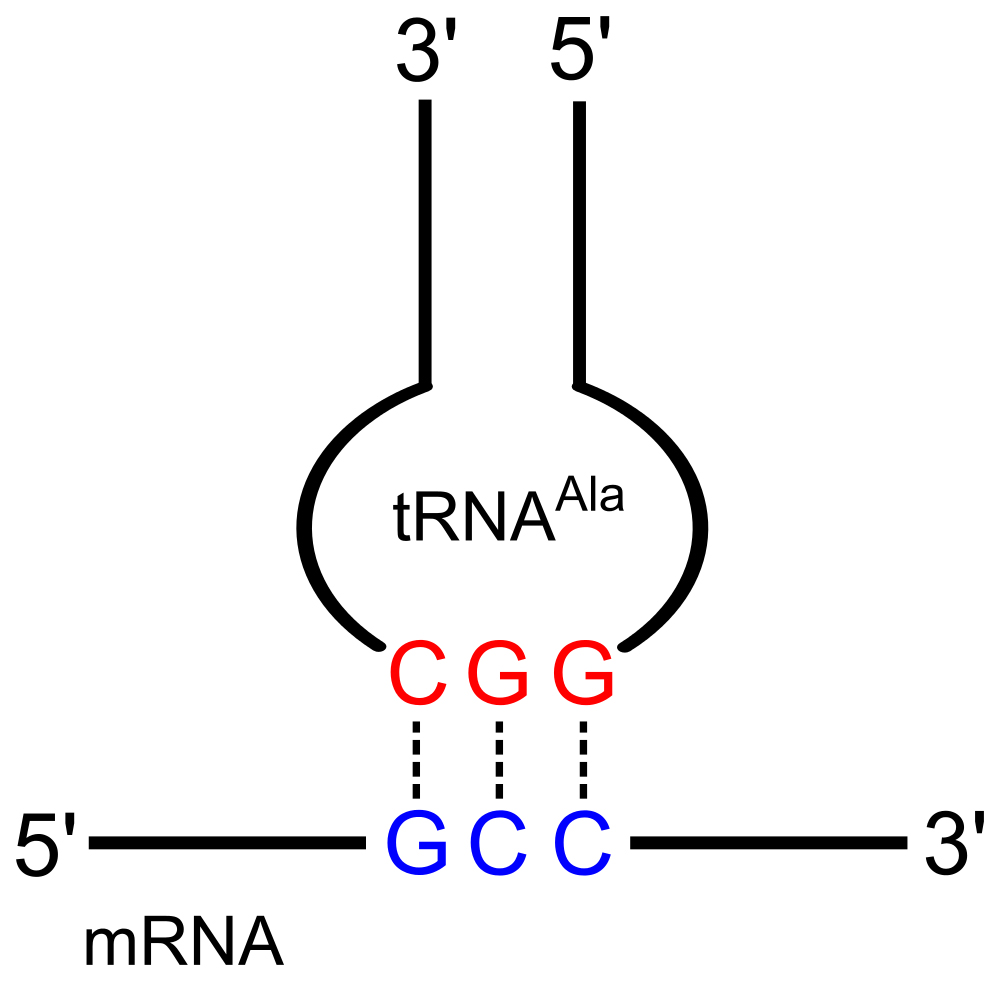 Codon-Anticodon pairing