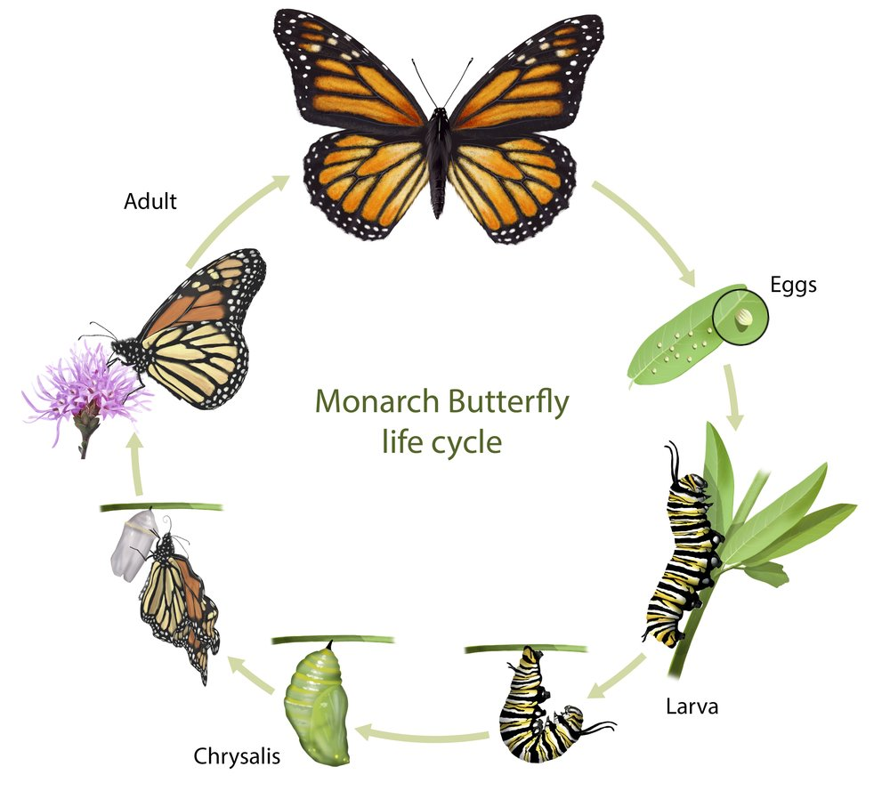 Digital illustration of a monarch butterfly life cycle(Nicolas Primola)s