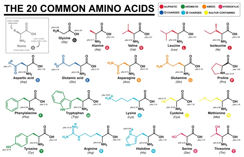 Educational chart with all the common amino acids represented with color coded side chains(Cristian Victor Rete)s