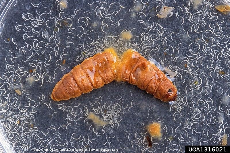 Entomopathogenic nematode