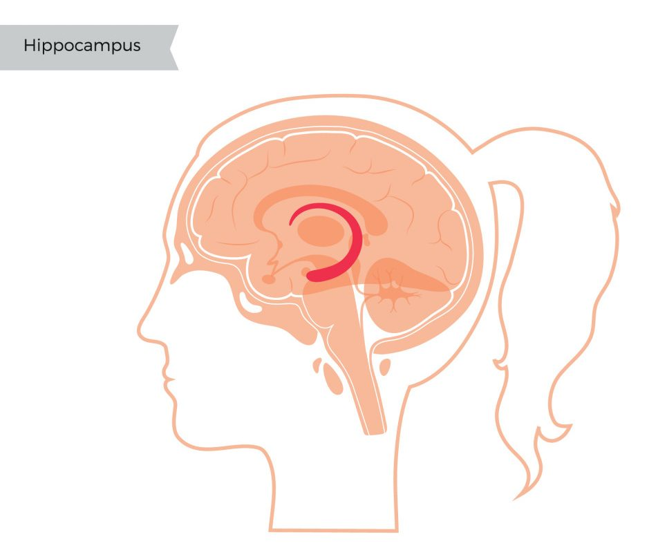 Hippocampus in woman head(Pikovit)s